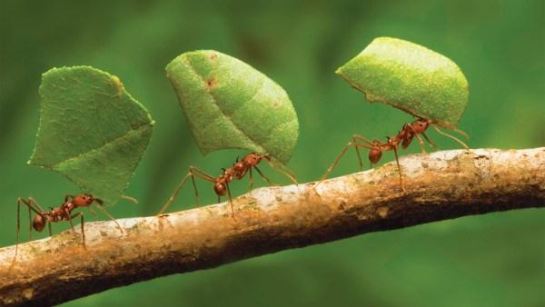 Formiga é inseto que carrega até cem vezes o seu próprio peso
