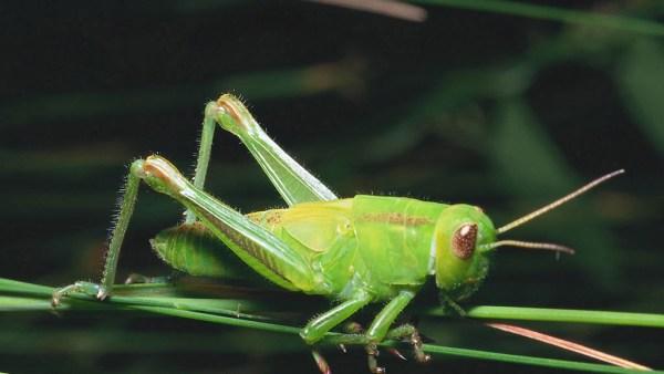 Grilo é um inseto presente em diversas regiões do mundo