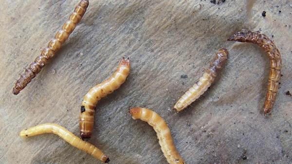 Larva não tem capacidade reprodutiva, mas pode danificar plantas
