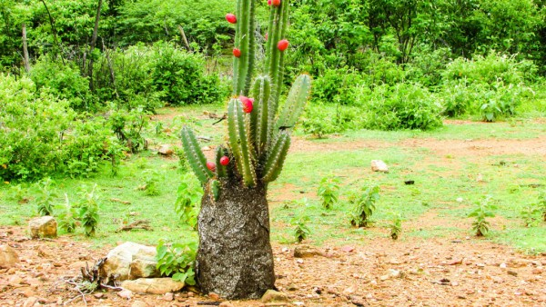 Mandacaru é planta nativa do Brasil que pode chegar a 6 metros de altura