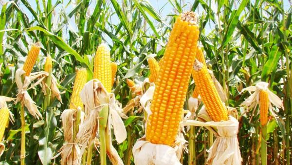 Milho é extensivamente cultivado e utilizado como alimento e ração