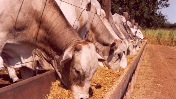 Ração para gado deve ser escolhida com cautela para bons resultados