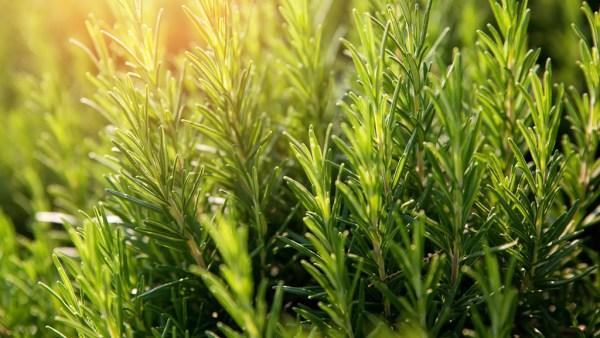 Alecrim é uma erva de aroma característico muito usada como condimento