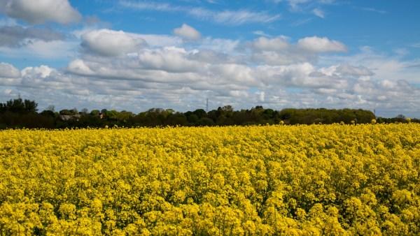 Canola é uma excelente opção de cultivo para o inverno
