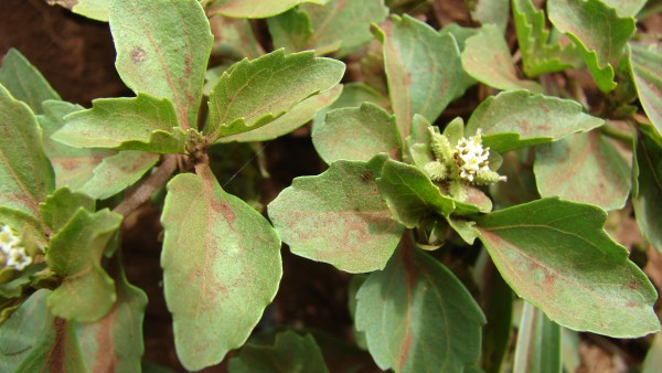Carrapicho é planta invasora e pode prejudicar desenvolvimento do plantio