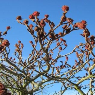 Sumagre é fruto de sabor marcante e ácido utilizado como tempero