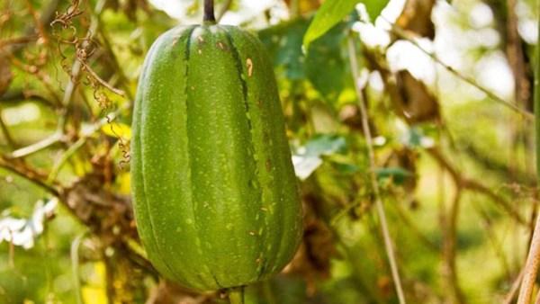 Buchinha do norte é planta tóxica e que requer cuidados no seu uso