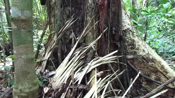 Cumaru é uma árvore muito versátil e típica da região Norte do Brasil