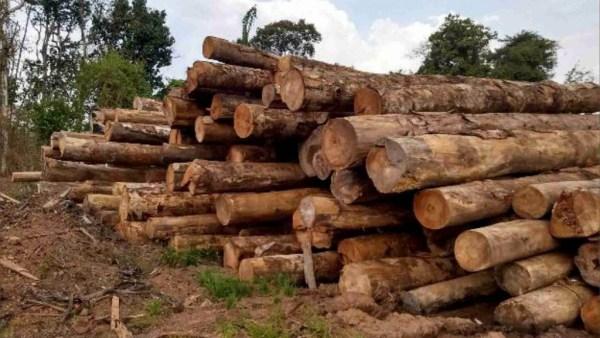 Madeireira é a indústria que trabalha com a extração de madeira