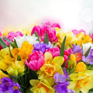 Frésias são flores coloridas e de aroma cítrico característico