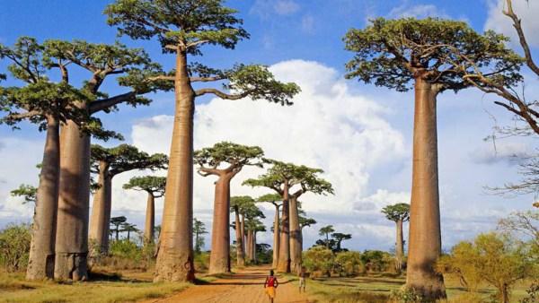 Baobá é árvore de tronco largo que marca presença em várias regiões
