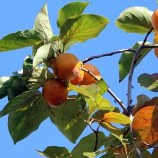 Caqui fuyu é a variedade saborosa da fruta que reúne vários benefícios