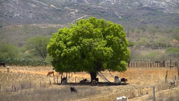 Juazeiro é uma árvore típica da região semiárida brasileira