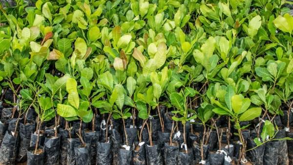 Mudas permitem um fácil manejo e podem render bons cultivos