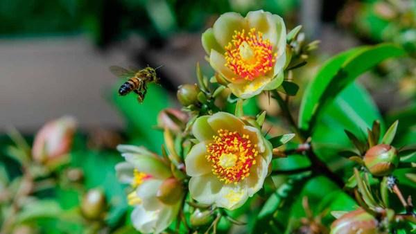 Planta ora pro nobis é cactácea trepadeira folhosa comum no Brasil