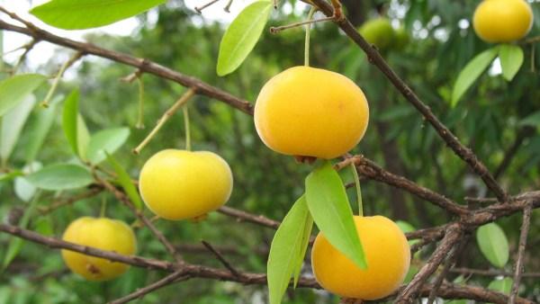 Uvaia é comumente encontrada no Sul e no Sudeste do Brasil