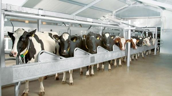 Ordenha é processo que exige cuidado para garantir qualidade do leite
