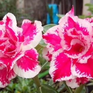 Rosa do deserto não se assemelha em nada às rosas tradicionais