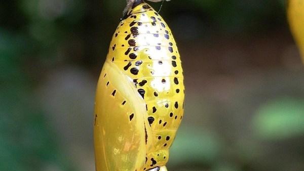 Pupa é o nome dado ao estágio entre a larva e o ser formado