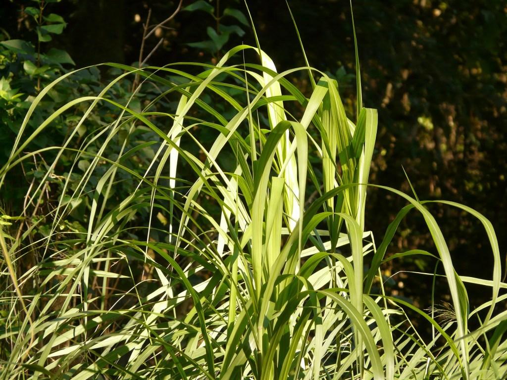 brachiaria humidicola se adapta bem a solos alagados e é tolerante a seca