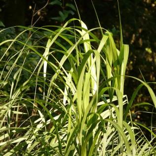 Brachiaria humidicola é resistente a seca e solos alagados