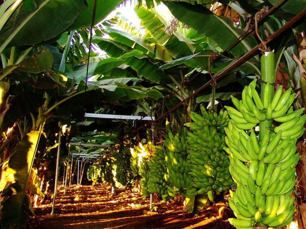 Como plantar banana
