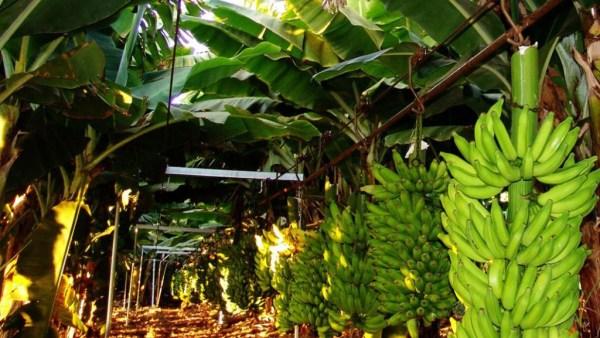 Como plantar banana? Confira 8 dicas especiais para começar a produção