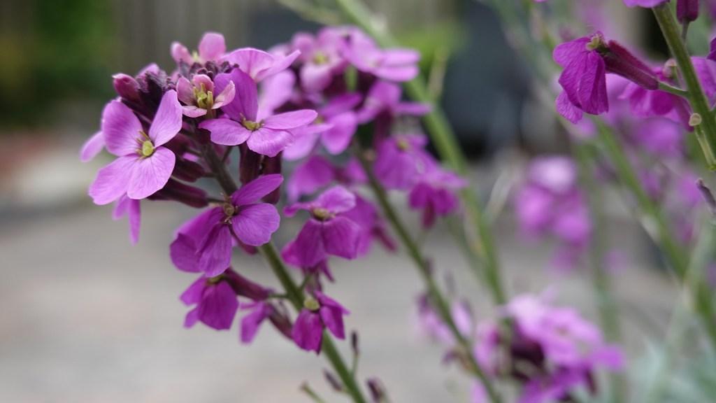goivo é uma flor de pequeno porte que se apresenta em várias cores