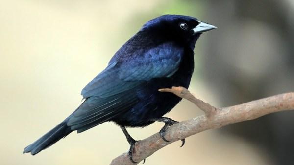 Chupim é um pássaro cujo canto se tornou um ícone dos campos