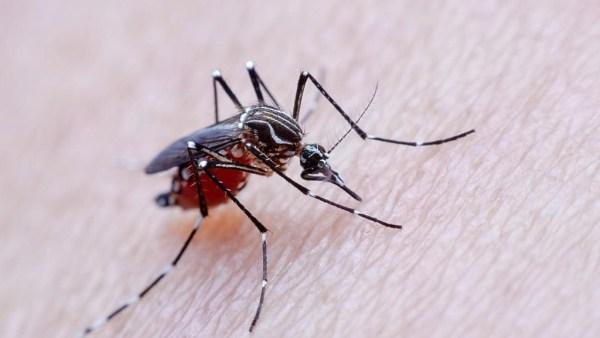 Mosquito é o nome dado a uma série de insetos da família Culicidae