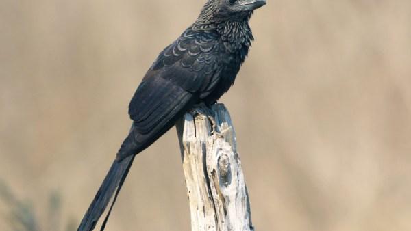 Anu-preto, ave que adora tomar sol, também se banha na poeira