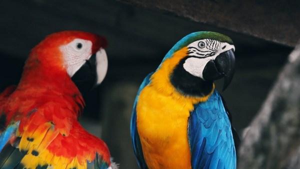 Arara é um termo que designa diversas aves psitaciformes