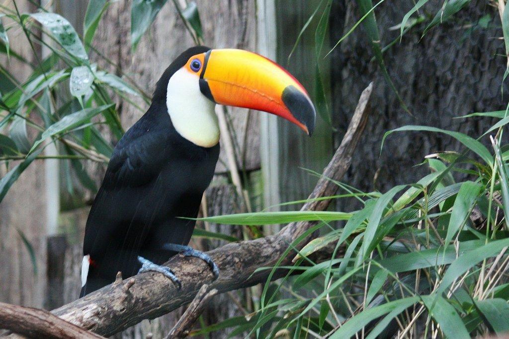 Tucanos também são representantes das aves brasileiras