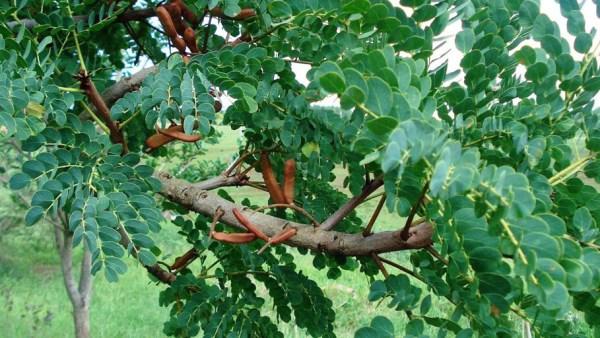 Barbatimão é uma planta medicinal que trata vários males