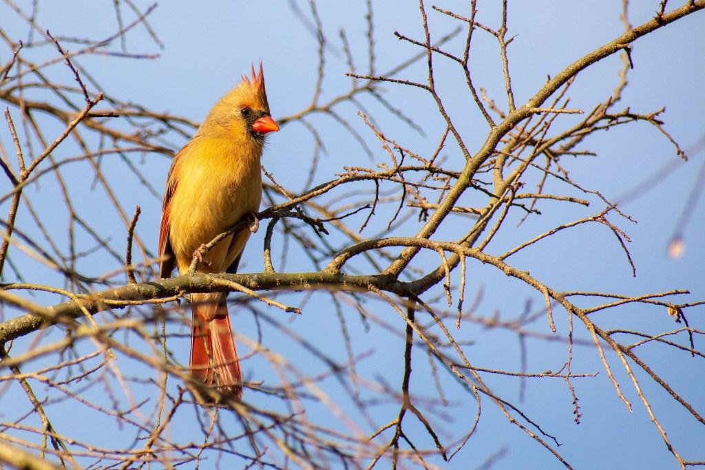 Cardeal amarelo habita em meio a vegetação