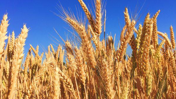 Cerveja de trigo ganha cada vez mais adeptos no Brasil