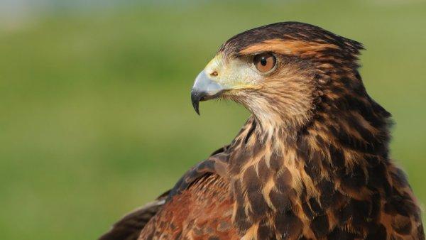 Gavião é o nome de várias espécies de aves de rapina