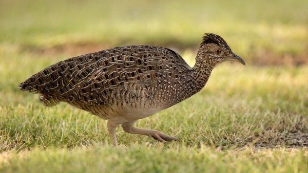 Inhambu é ave comum em florestas com sub-bosque denso e fechado
