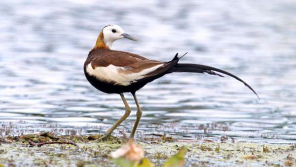 Jaçanã é ave de plumagem negra e manto castanho