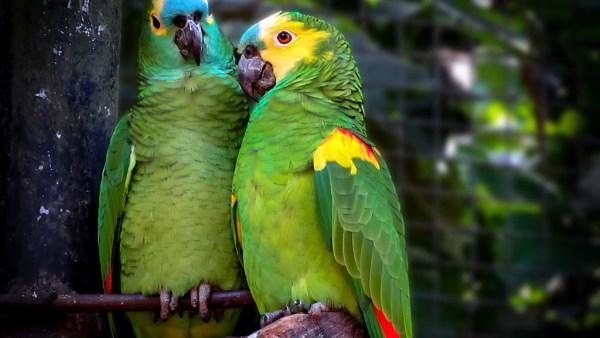Papagaio verdadeiro é uma ave nativa do Brasil oriental