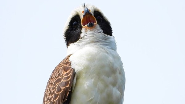 Acauã, ave de canto característico, é comum no Brasil