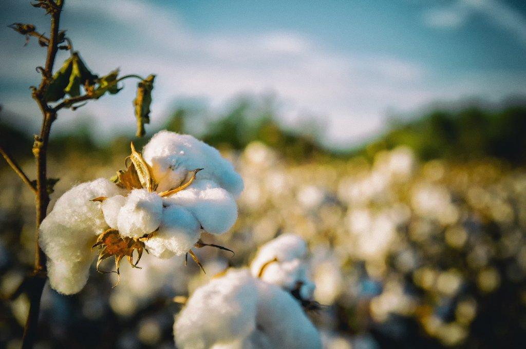 Planta de algodão na lavoura, esse cultivo é chamad de cotonicultura