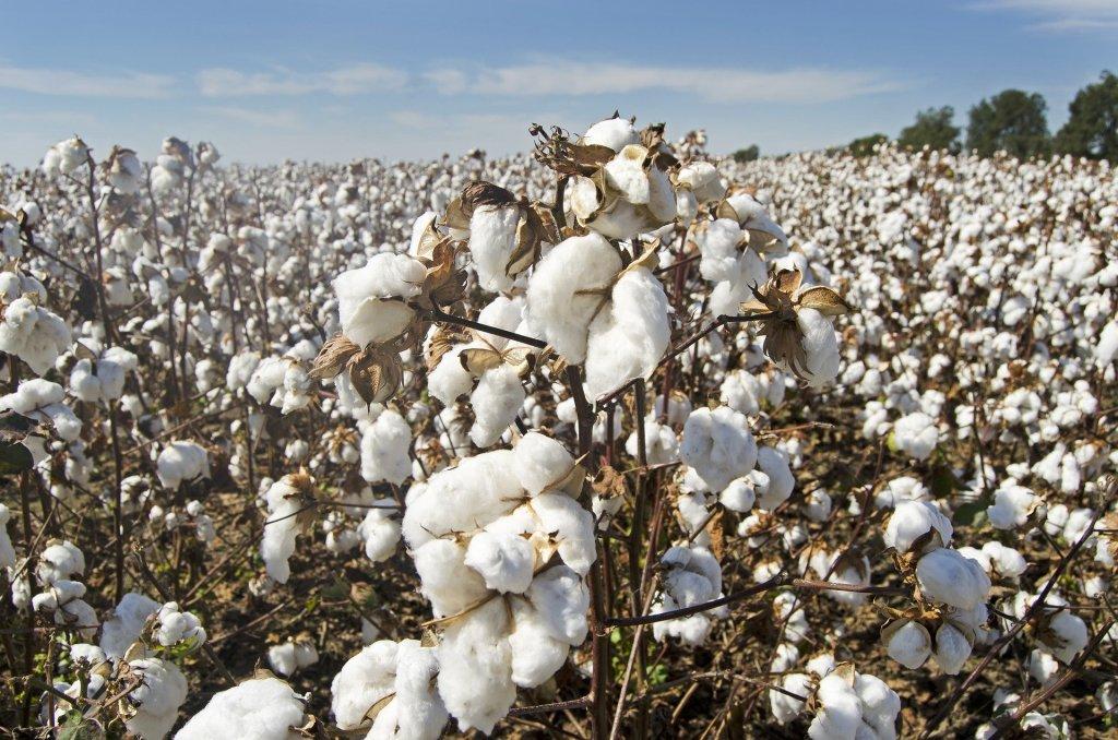 Cultivo de lavoura de algodão, chamado de cotonicultura