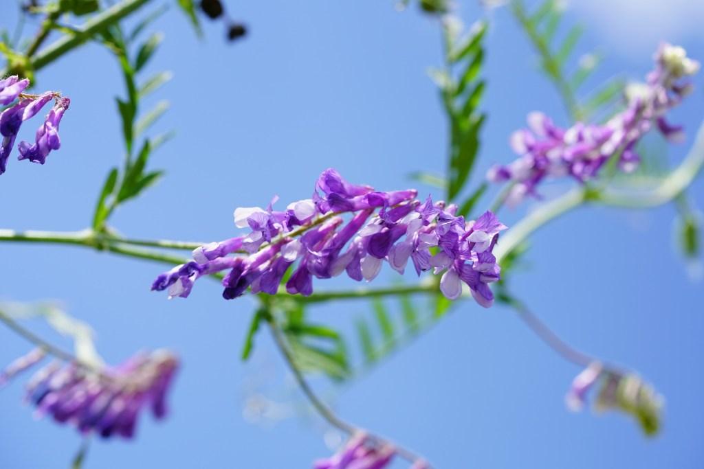 Planta de ervilhaca, que pode ser usada como adubo verde