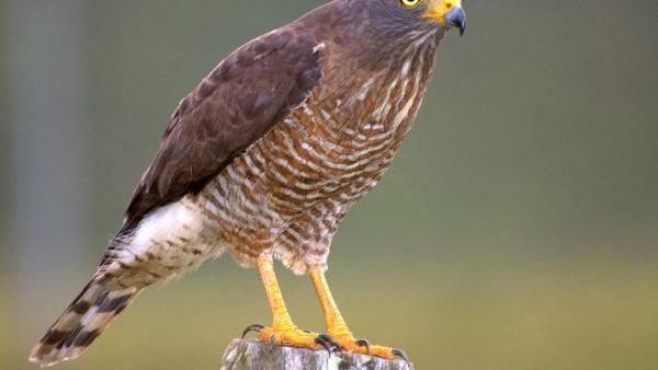 Gavião carijó é ave de rapina comum no Brasil, Argentina e México