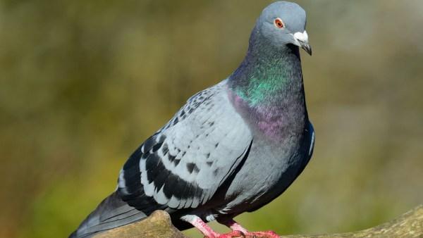 Pomba é ave de pequeno porte que frequenta centros urbanos e o campo