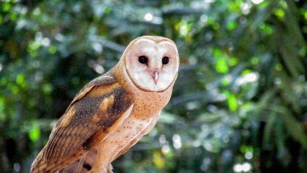 Suindara (coruja-das-torres) tem hábitos noturnos e prefere presas vivas