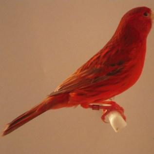 Canário vermelho é cruzamento entre o canário e o tarim-da-Venezuela