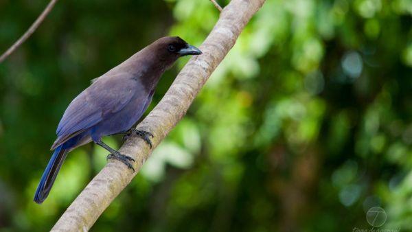 Gralha-azul é uma ave de coloração azul vivo e penas pretas na cabeça