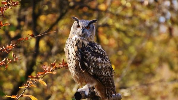 Jacurutu é coruja conhecida pelas falsas orelhas e a maior no Brasil